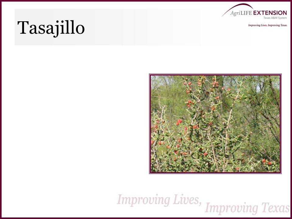 Tasajillo