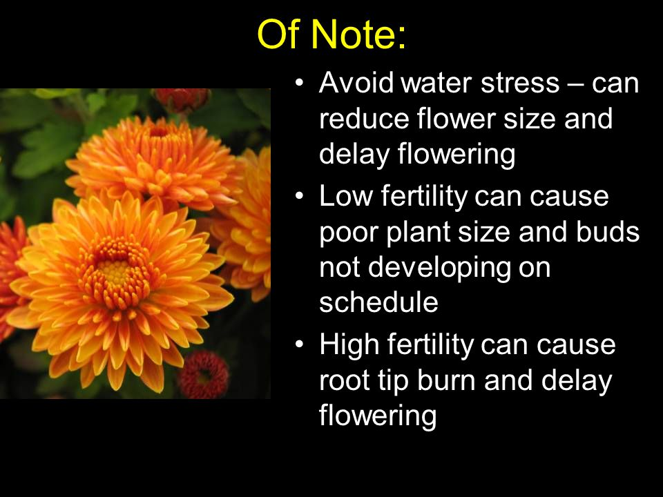 Of Note: Avoid water stress – can reduce flower size and delay flowering Low fertility can cause poor plant size and buds not developing on schedule High fertility can cause root tip burn and delay flowering