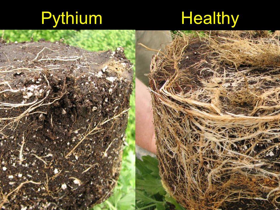 PythiumHealthy