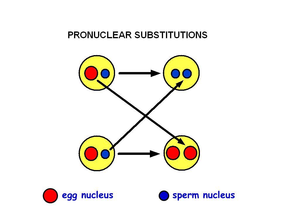 egg nucleussperm nucleus