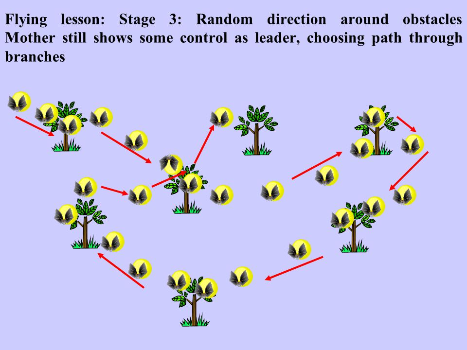 Flying lesson: Stage 3: Random direction around obstacles Mother still shows some control as leader, choosing path through branches