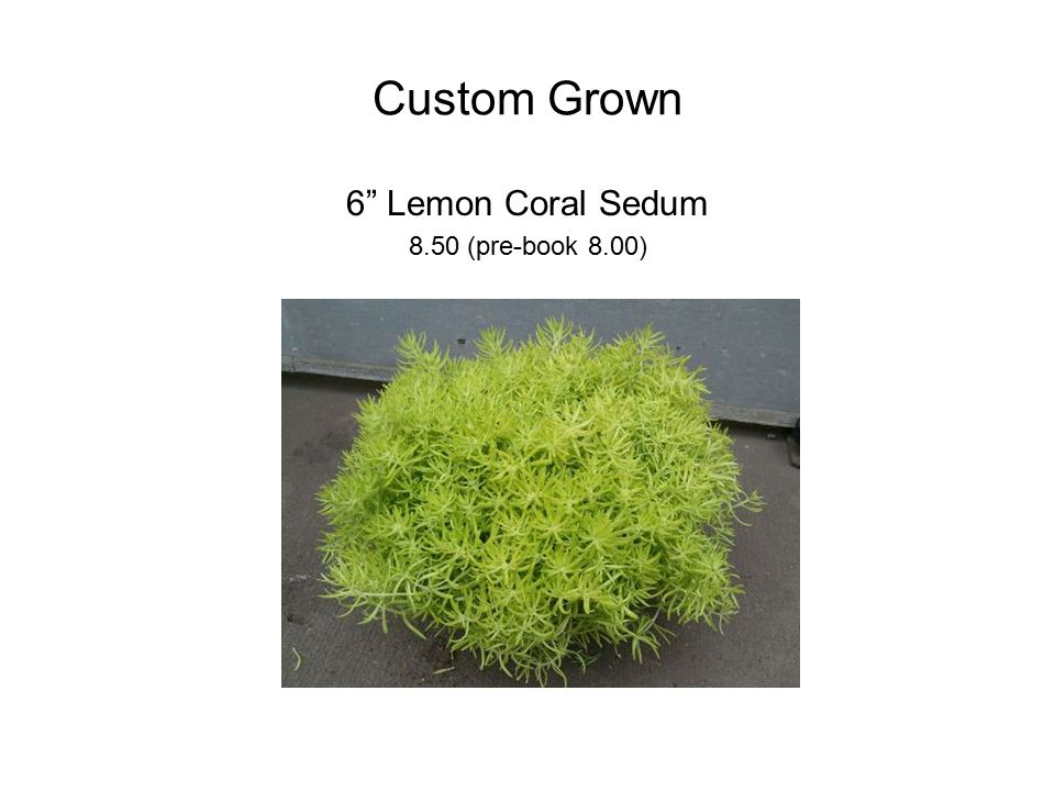 Custom Grown 6 Lemon Coral Sedum 8.50 (pre-book 8.00)