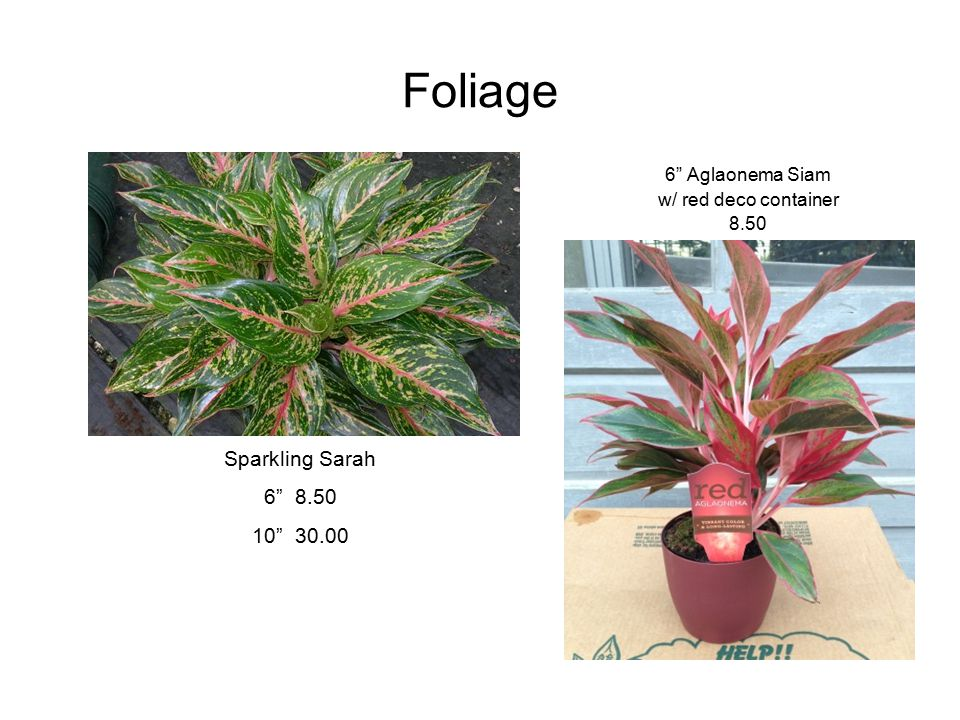 "Foliage 6"" Aglaonema Siam w/ red deco container 8.50 Sparkling Sarah 6"" 8.50 10"" 30.00"