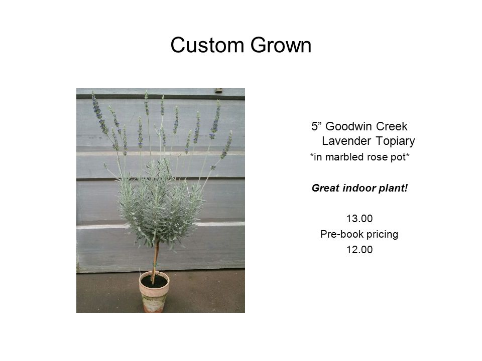 Custom Grown 5 Goodwin Creek Lavender Topiary *in marbled rose pot* Great indoor plant.