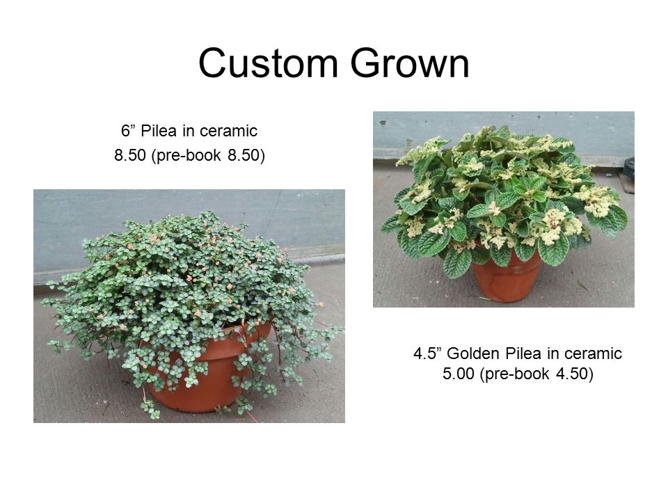 Custom Grown 6 Pilea in ceramic 8.50 (pre-book 8.50) 4.5 Golden Pilea in ceramic 5.00 (pre-book 4.50)