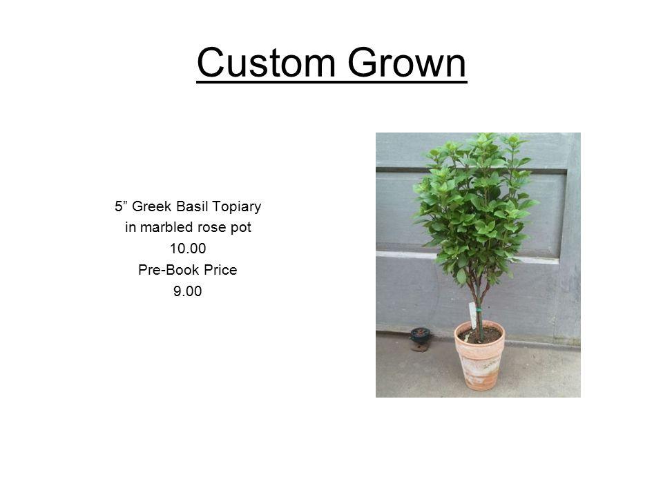 Custom Grown 4.5 Cervesa n Lime Plectranthus *in ceramic pot 5.00 Pre-Book 4.50