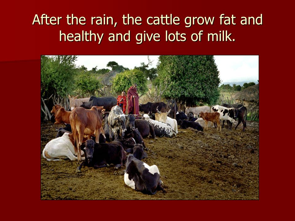 After the rain, the cattle grow fat and healthy and give lots of milk.