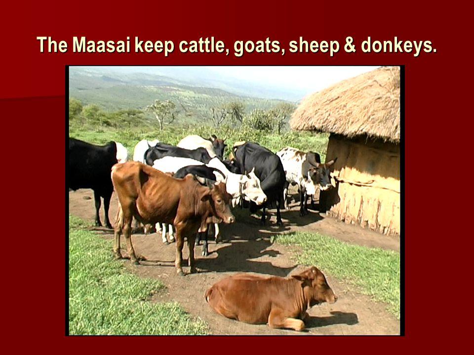 The Maasai keep cattle, goats, sheep & donkeys.