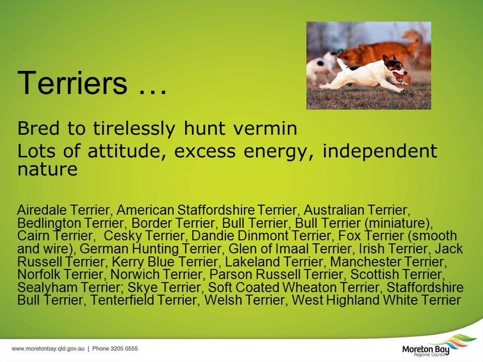 Terriers … Bred to tirelessly hunt vermin Lots of attitude, excess energy, independent nature Airedale Terrier, American Staffordshire Terrier, Australian Terrier, Bedlington Terrier, Border Terrier, Bull Terrier, Bull Terrier (miniature), Cairn Terrier, Cesky Terrier, Dandie Dinmont Terrier, Fox Terrier (smooth and wire), German Hunting Terrier, Glen of Imaal Terrier, Irish Terrier, Jack Russell Terrier, Kerry Blue Terrier, Lakeland Terrier, Manchester Terrier, Norfolk Terrier, Norwich Terrier, Parson Russell Terrier, Scottish Terrier, Sealyham Terrier; Skye Terrier, Soft Coated Wheaton Terrier, Staffordshire Bull Terrier, Tenterfield Terrier, Welsh Terrier, West Highland White Terrier