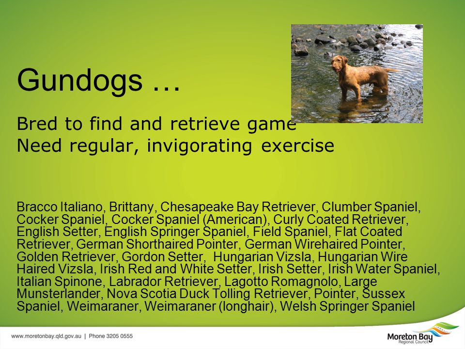 Gundogs … Bred to find and retrieve game Need regular, invigorating exercise Bracco Italiano, Brittany, Chesapeake Bay Retriever, Clumber Spaniel, Cocker Spaniel, Cocker Spaniel (American), Curly Coated Retriever, English Setter, English Springer Spaniel, Field Spaniel, Flat Coated Retriever, German Shorthaired Pointer, German Wirehaired Pointer, Golden Retriever, Gordon Setter, Hungarian Vizsla, Hungarian Wire Haired Vizsla, Irish Red and White Setter, Irish Setter, Irish Water Spaniel, Italian Spinone, Labrador Retriever, Lagotto Romagnolo, Large Munsterlander, Nova Scotia Duck Tolling Retriever, Pointer, Sussex Spaniel, Weimaraner, Weimaraner (longhair), Welsh Springer Spaniel