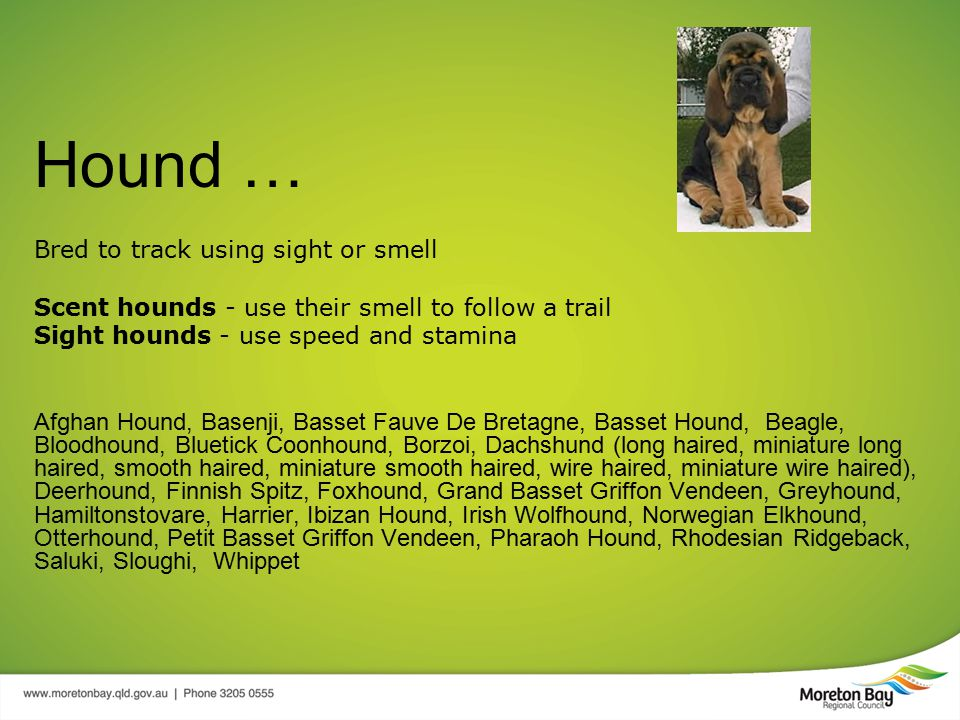 Hound … Bred to track using sight or smell Scent hounds - use their smell to follow a trail Sight hounds - use speed and stamina Afghan Hound, Basenji, Basset Fauve De Bretagne, Basset Hound, Beagle, Bloodhound, Bluetick Coonhound, Borzoi, Dachshund (long haired, miniature long haired, smooth haired, miniature smooth haired, wire haired, miniature wire haired), Deerhound, Finnish Spitz, Foxhound, Grand Basset Griffon Vendeen, Greyhound, Hamiltonstovare, Harrier, Ibizan Hound, Irish Wolfhound, Norwegian Elkhound, Otterhound, Petit Basset Griffon Vendeen, Pharaoh Hound, Rhodesian Ridgeback, Saluki, Sloughi, Whippet