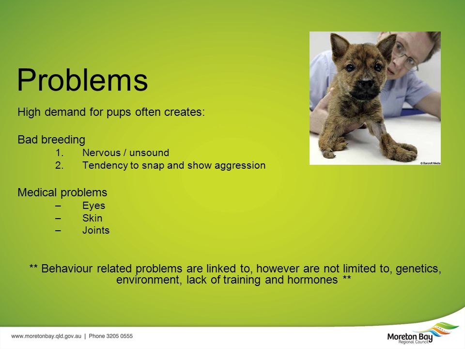Problems High demand for pups often creates: Bad breeding 1.Nervous / unsound 2.Tendency to snap and show aggression Medical problems –Eyes –Skin –Joints ** Behaviour related problems are linked to, however are not limited to, genetics, environment, lack of training and hormones **