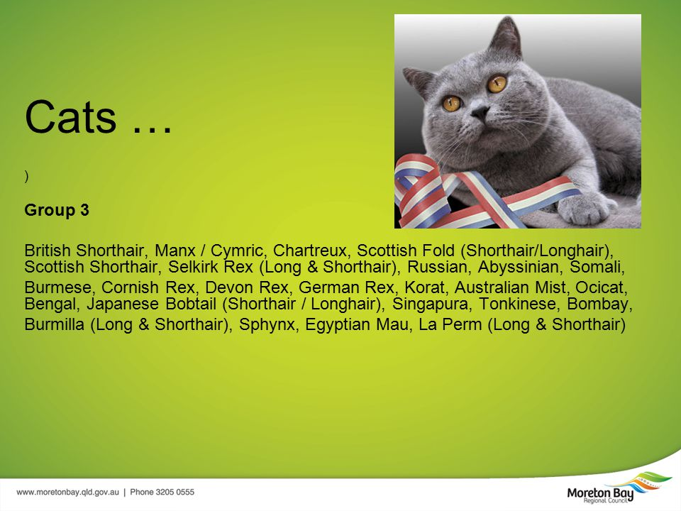 Cats … ) Group 3 British Shorthair, Manx / Cymric, Chartreux, Scottish Fold (Shorthair/Longhair), Scottish Shorthair, Selkirk Rex (Long & Shorthair), Russian, Abyssinian, Somali, Burmese, Cornish Rex, Devon Rex, German Rex, Korat, Australian Mist, Ocicat, Bengal, Japanese Bobtail (Shorthair / Longhair), Singapura, Tonkinese, Bombay, Burmilla (Long & Shorthair), Sphynx, Egyptian Mau, La Perm (Long & Shorthair)