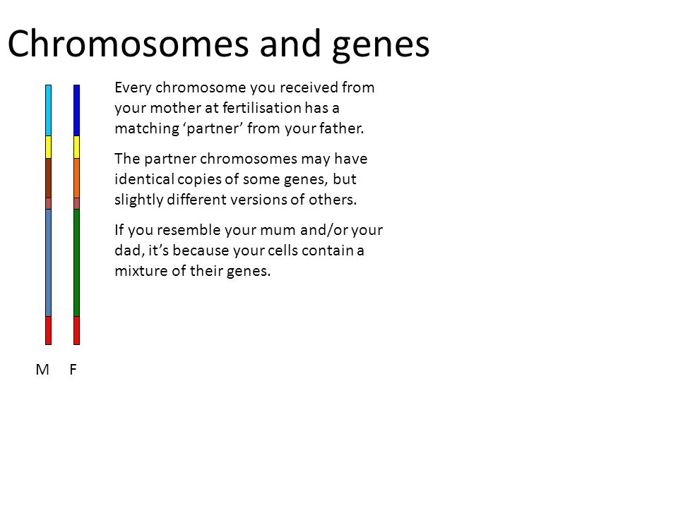 Chromosomes and genes Every chromosome you received from your mother at fertilisation has a matching 'partner' from your father. The partner chromosom