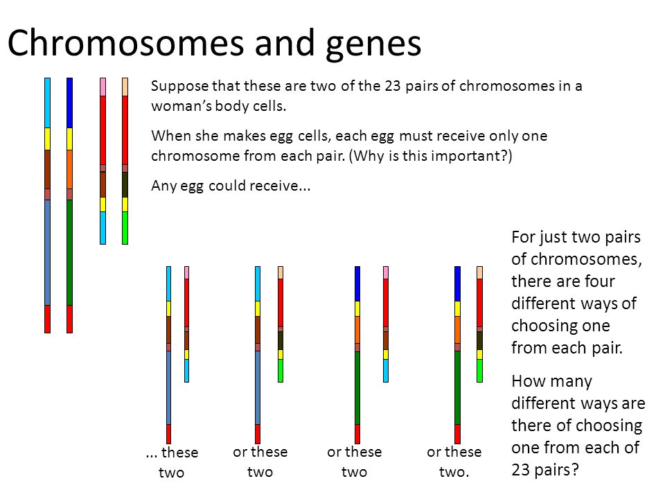 Chromosomes and genes Suppose that these are two of the 23 pairs of chromosomes in a woman's body cells. When she makes egg cells, each egg must recei