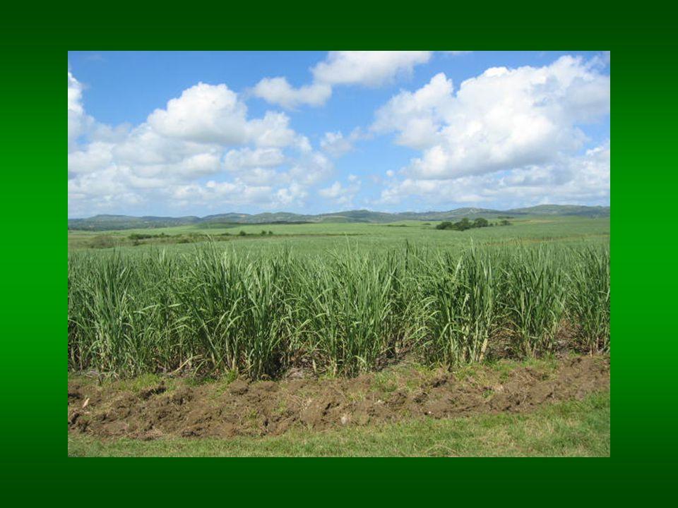 Historical Development of the Cuban Sugar Production 1847 - 2004
