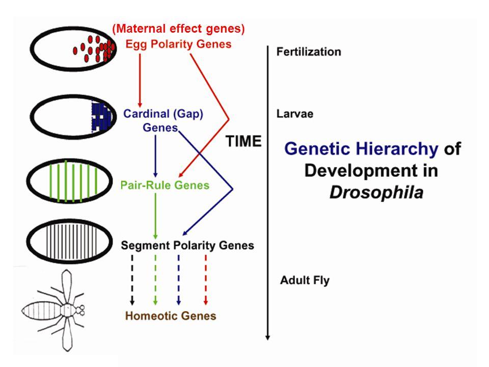 (Maternal effect genes)