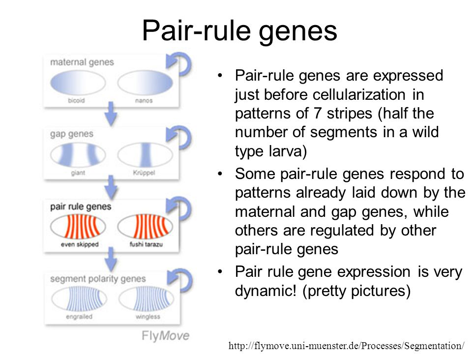 Pair-rule genes Pair-rule genes are expressed just before cellularization in patterns of 7 stripes (half the number of segments in a wild type larva) Some pair-rule genes respond to patterns already laid down by the maternal and gap genes, while others are regulated by other pair-rule genes Pair rule gene expression is very dynamic.