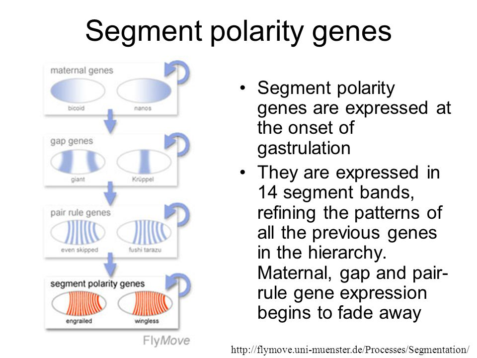 Segment polarity genes Segment polarity genes are expressed at the onset of gastrulation They are expressed in 14 segment bands, refining the patterns of all the previous genes in the hierarchy.