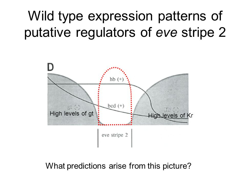 Wild type expression patterns of putative regulators of eve stripe 2 What predictions arise from this picture.