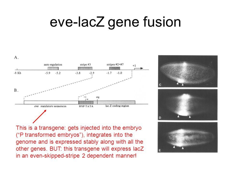 eve-lacZ gene fusion This is a transgene: gets injected into the embryo ( P transformed embryos ), integrates into the genome and is expressed stably along with all the other genes.