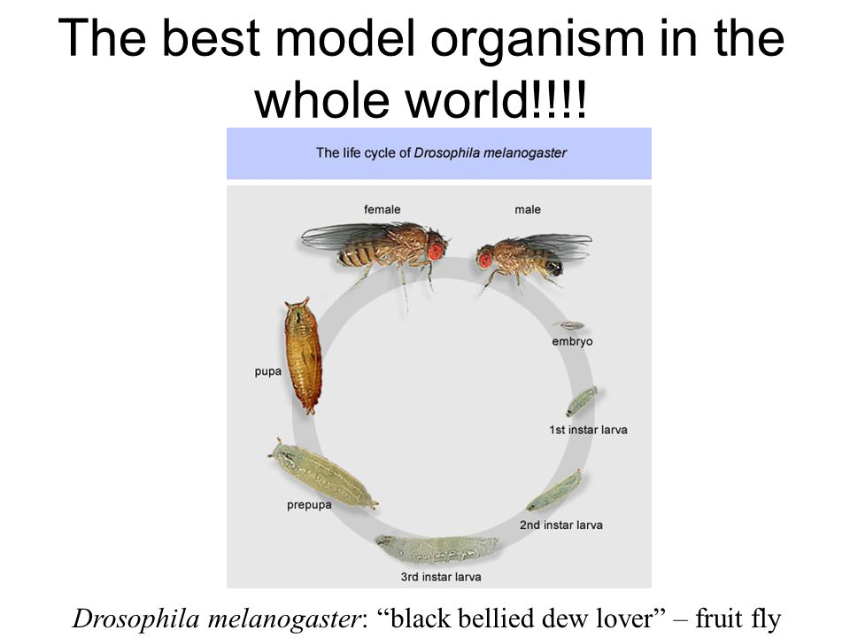 The best model organism in the whole world!!!.