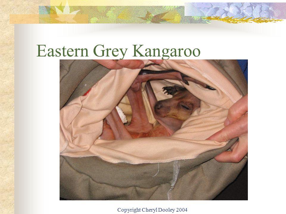 Copyright Cheryl Dooley 2004 Eastern Grey Kangaroo