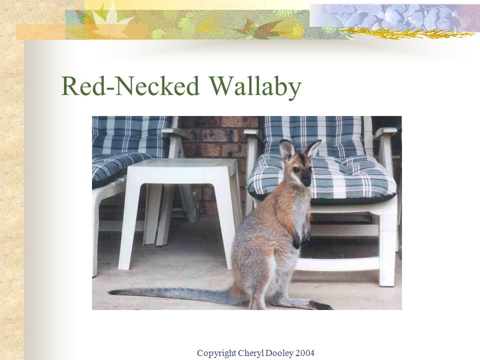 Copyright Cheryl Dooley 2004 Red-Necked Wallaby
