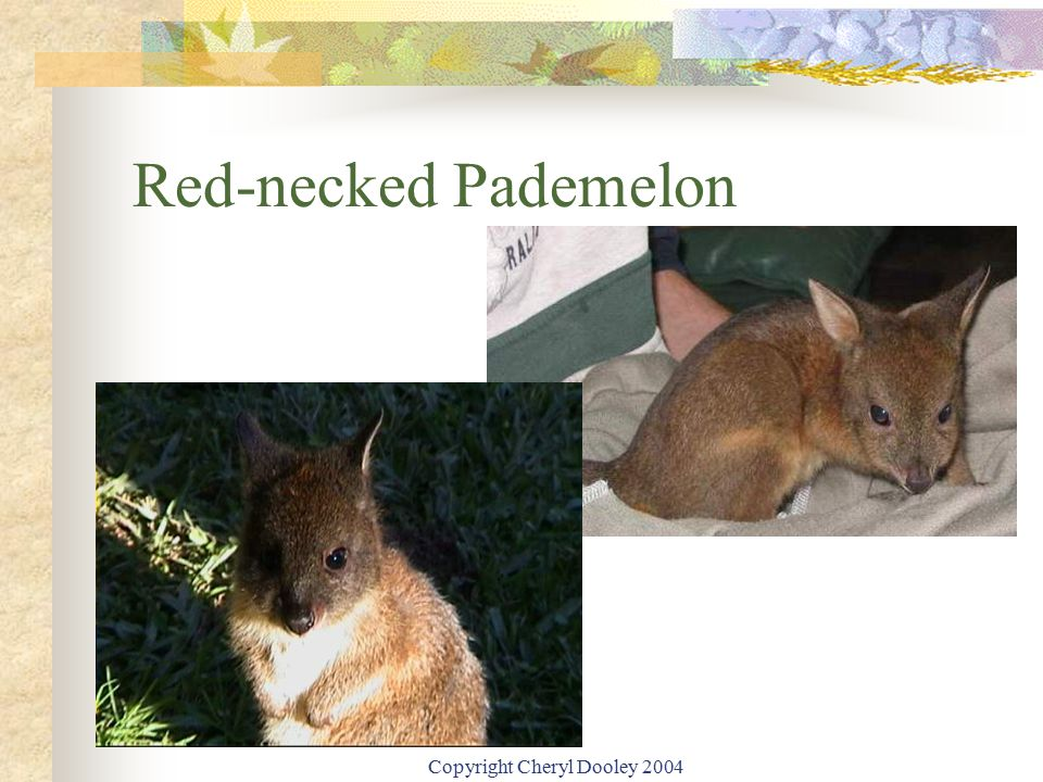 Copyright Cheryl Dooley 2004 Red-necked Pademelon