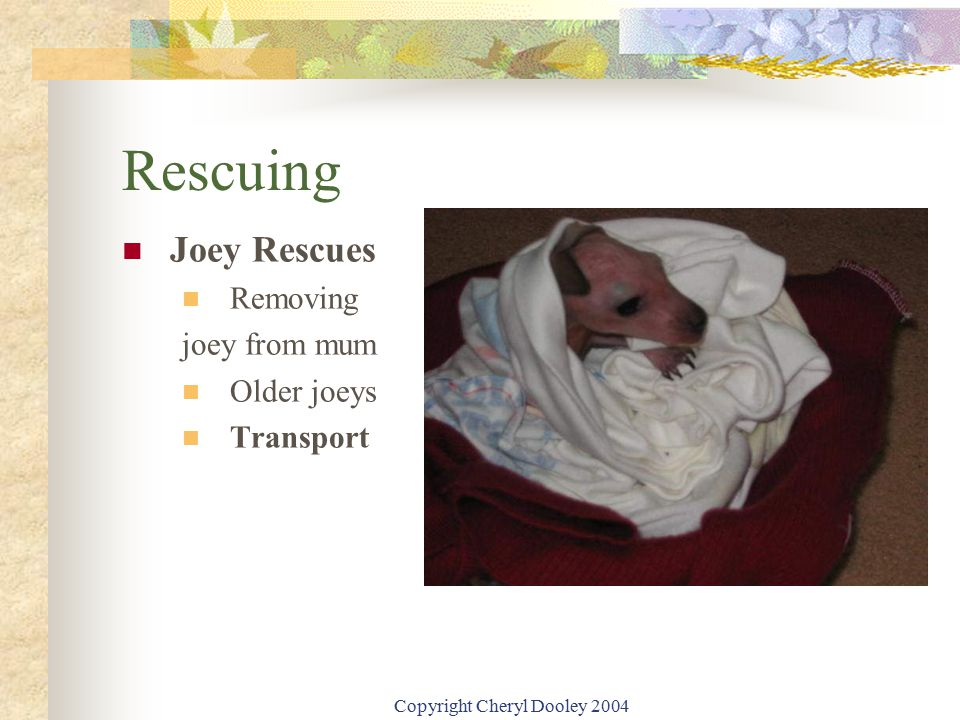 Copyright Cheryl Dooley 2004 Rescuing Joey Rescues Removing joey from mum Older joeys Transport