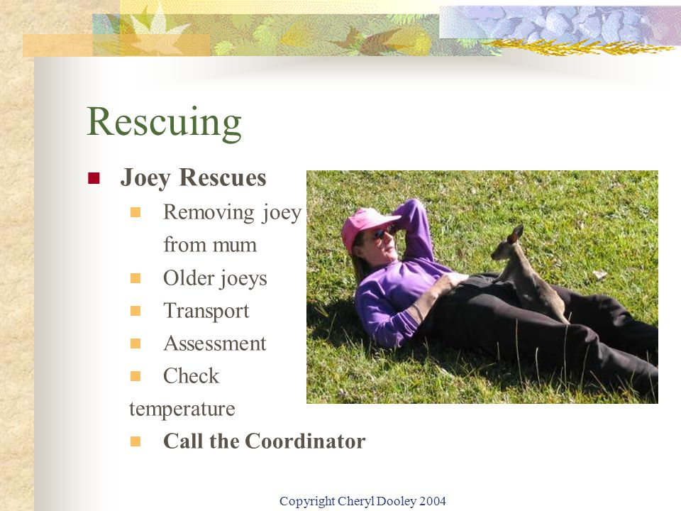Copyright Cheryl Dooley 2004 Rescuing Joey Rescues Removing joey from mum Older joeys Transport Assessment Check temperature Call the Coordinator