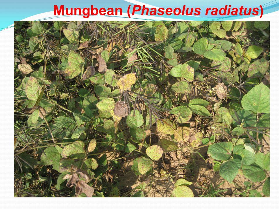 Mungbean (Phaseolus radiatus)