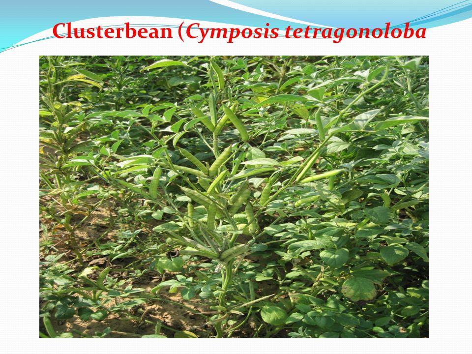 Clusterbean (Cymposis tetragonoloba