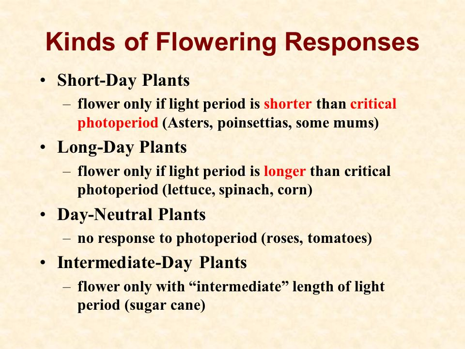Kinds of Flowering Responses Short-Day Plants –flower only if light period is shorter than critical photoperiod (Asters, poinsettias, some mums) Long-Day Plants –flower only if light period is longer than critical photoperiod (lettuce, spinach, corn) Day-Neutral Plants –no response to photoperiod (roses, tomatoes) Intermediate-Day Plants –flower only with intermediate length of light period (sugar cane)