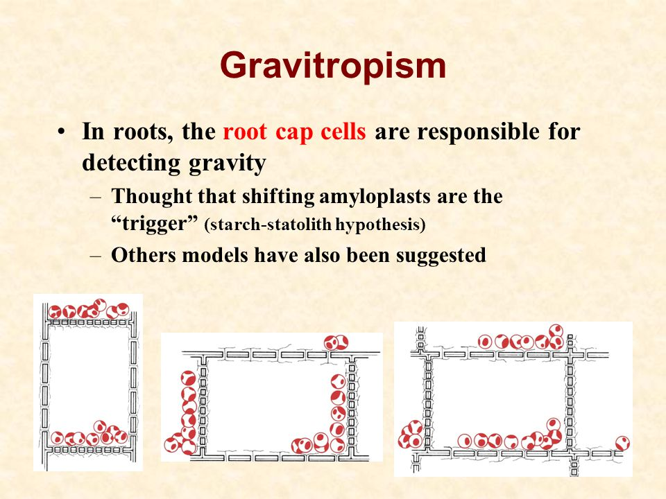 Gravitropism In roots, the root cap cells are responsible for detecting gravity –Thought that shifting amyloplasts are the trigger (starch-statolith hypothesis) –Others models have also been suggested