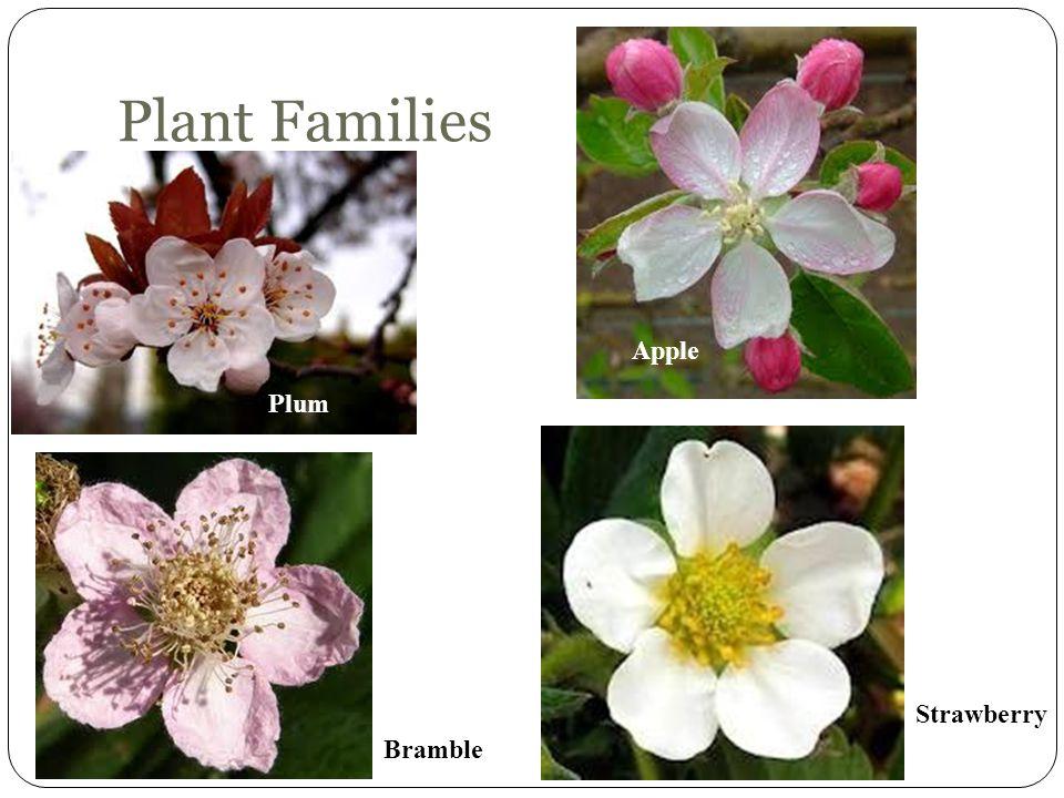 Plant Families Plum Apple Bramble Strawberry