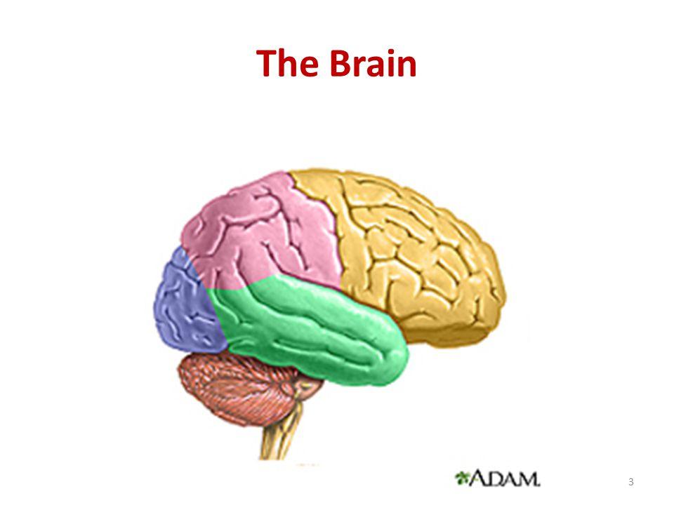 The Brain 3