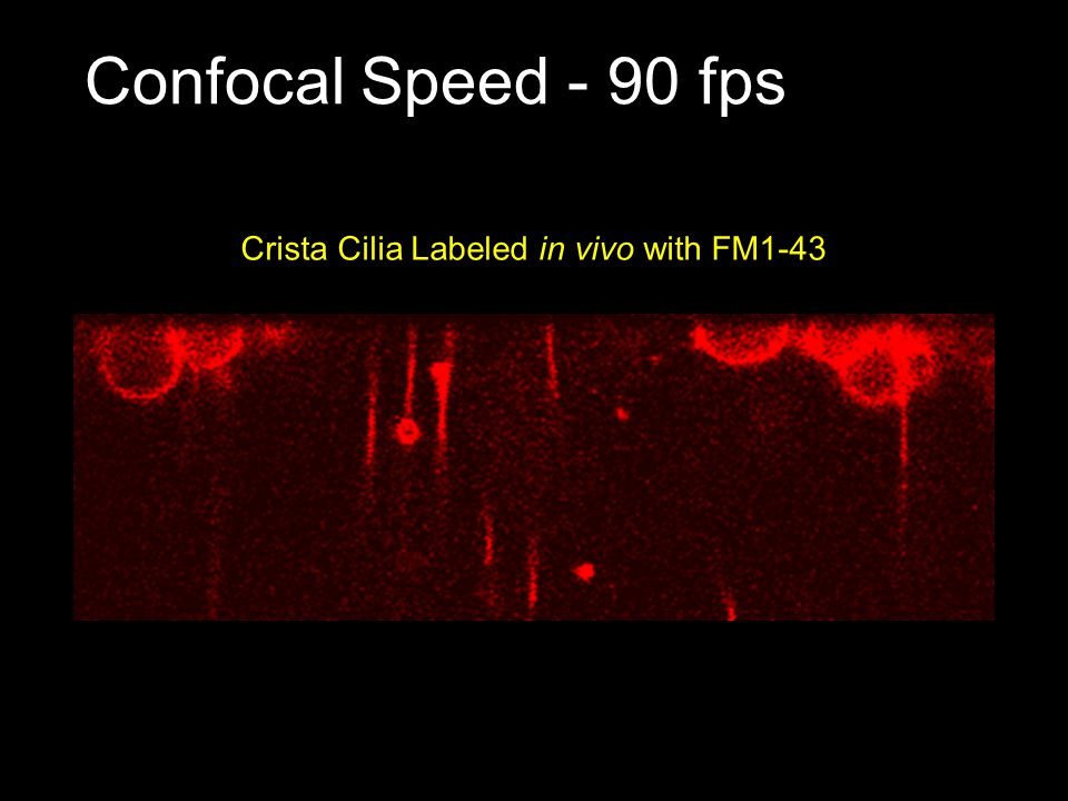 Confocal Speed - 90 fps Crista Cilia Labeled in vivo with FM1-43