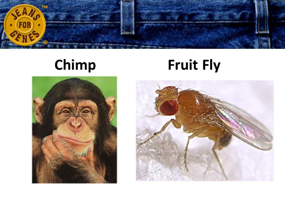 ChimpFruit Fly