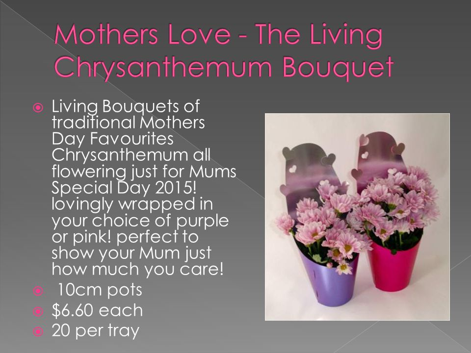 Living Bouquets of traditional Mothers Day Favourites Chrysanthemum all flowering just for Mums Special Day 2015.