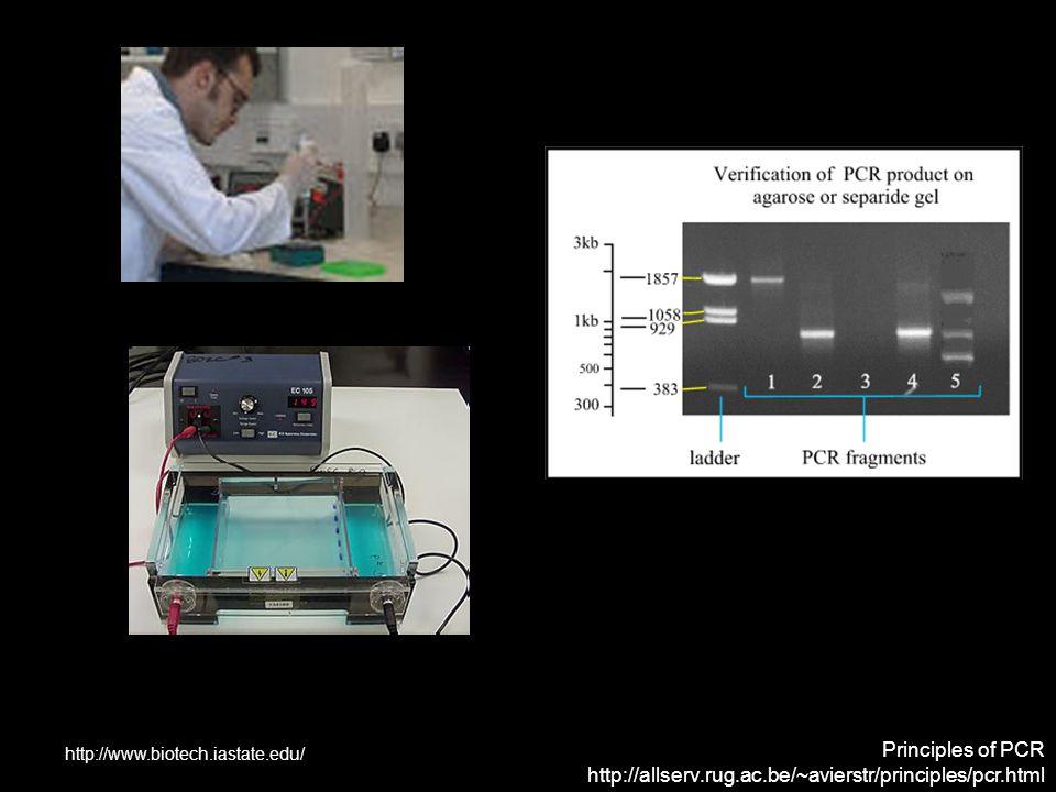 Principles of PCR http://allserv.rug.ac.be/~avierstr/principles/pcr.html http://www.biotech.iastate.edu/