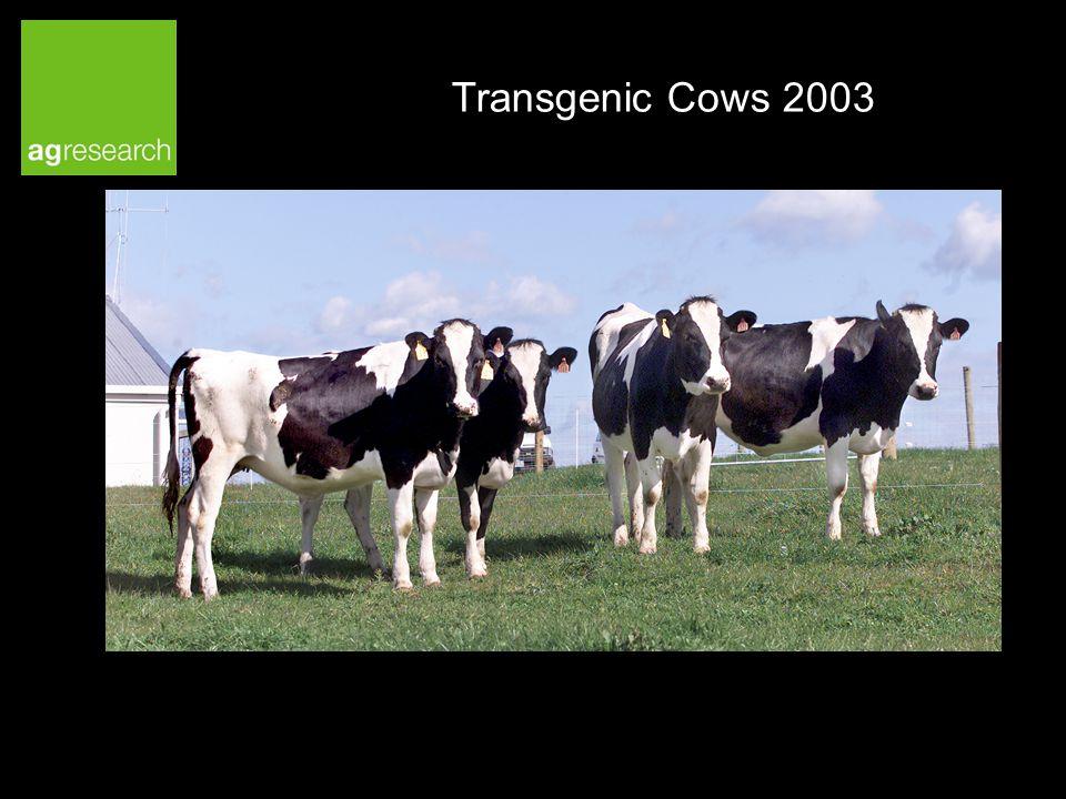 Transgenic Cows 2003