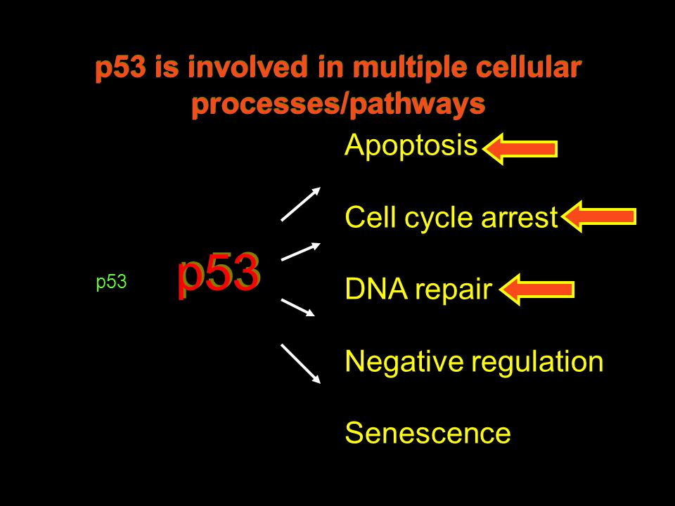 p53 Apoptosis Cell cycle arrest DNA repair Negative regulation Senescence p53 is involved in multiple cellular processes/pathways