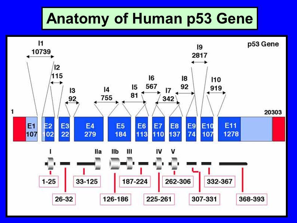 Anatomy of Human p53 Gene