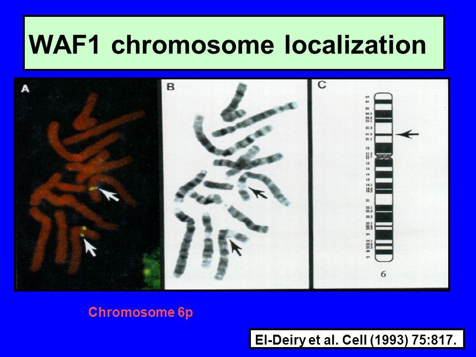 WAF1 chromosome localization El-Deiry et al. Cell (1993) 75:817. Chromosome 6p