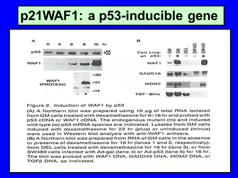 p21WAF1: a p53-inducible gene