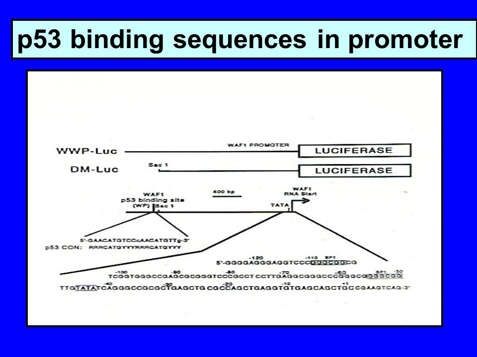 p53 binding sequences in promoter