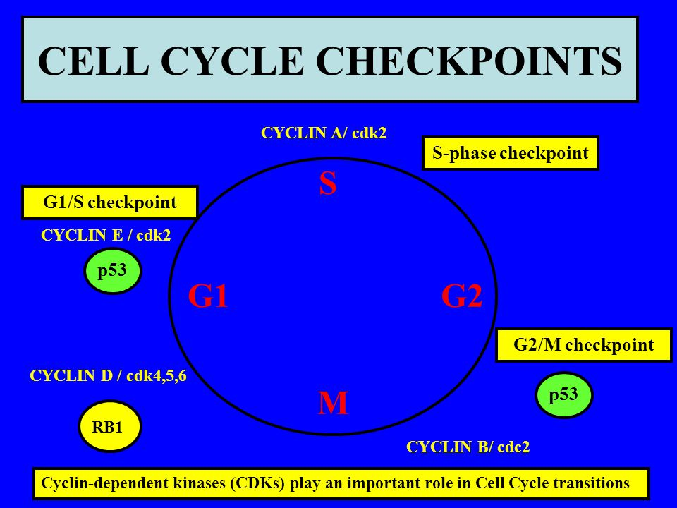 CELL CYCLE CHECKPOINTS G1 S G2 M CYCLIN B/ cdc2 CYCLIN A/ cdk2 CYCLIN E / cdk2 CYCLIN D / cdk4,5,6 Cyclin-dependent kinases (CDKs) play an important r