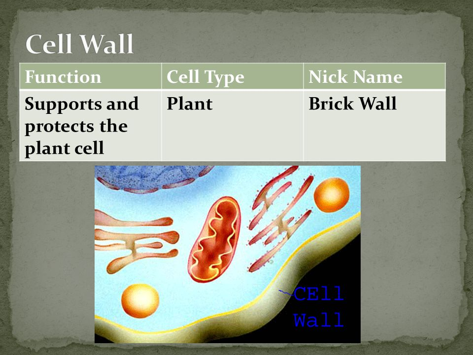 FunctionCell TypeNick Name Supports and protects the plant cell PlantBrick Wall