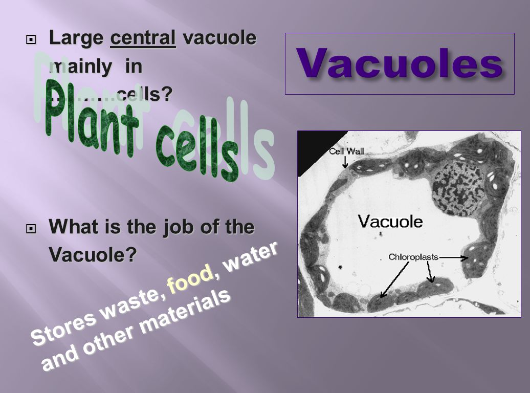 LLLLarge central vacuole mainly in ……….cells? WWWWhat is the job of the Vacuole? Stores waste, food, water and other materials